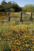 Coreopsis (Coreopsis nuecensis), DeWitt County, Texas