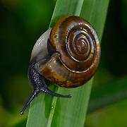 A snail climbing a grass blade in Khao Khieo Wildlife Preserve, Chonburi, Thailand