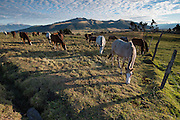 Horses graze in a field in the high Andes mountains of Ecuador.