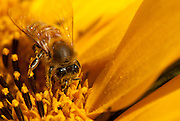 Honey bee, Apis mellifera, photographed at .85x magnification, hand-holding and using natural light in Los Osos, Calif., on September 22, 2010. (Photo by Aaron Schmidt/Brooks Institute © 2010)
