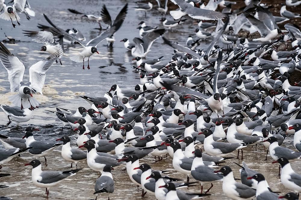 Laughing Gull, Leucophaeus atricilla, Reeds Beach, Delaware Bay, New Jersey, USA