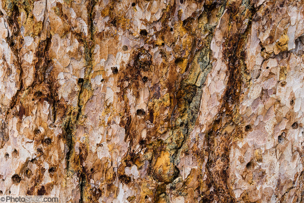 Larch tree bark pattern. Larches are deciduous conifers in the genus Larix, in the family Pinaceae. In Peter Lougheed Provincial Park, Chester Lake is a delightful hike of 5.2 miles round trip with 1000 ft gain through larch forest. Extending the hike to Three Lakes Valley is 7.8 miles RT with 1800 ft gain to a lake-dotted limestone barrens. Kananaskis Country is a park system in the Canadian Rockies west of Calgary, in Alberta, Canada.