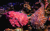 The psychedelic frogfish (Histiophryne psychedelica) is a yellow-brown or peach colored frogfish named for its pink and white stripes arranged in a fingerprint pattern. The fish is from waters near Ambon Island and Bali, Indonesia.