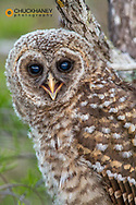 Flegling barred owl in Everglades National Park, Florida, USA