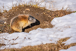 THEMENBILD - ein Murmeltier in einer Wiese, aufgenommen am 20. April 2018 in Fusch an der Glocknerstrasse, Österreich // a marmot in a meadow, Fusch an der Glocknerstrasse, Austria on 2018/04/20. EXPA Pictures © 2018, PhotoCredit: EXPA/ JFK