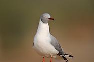 grey-headed gull, Larus cirrocephalus, Mouette à tête grise