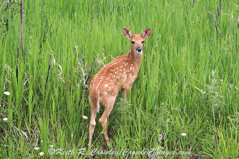 Whitetail fawns