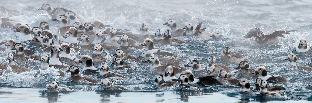 Long-tailed Ducks, Clangula hyemalis, St. Clair River, Michigan