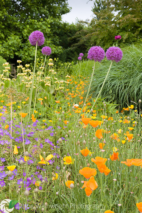 Alliums and California poppies in a herbaceous border at Bluebell Cottage Gardens, Cheshire - photographed in July
