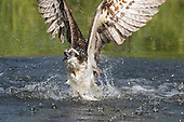 OSPREY FISHING SEQUENCES