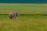 One of the large tusked elephants of Ngorongoro Crater, Tanzania.