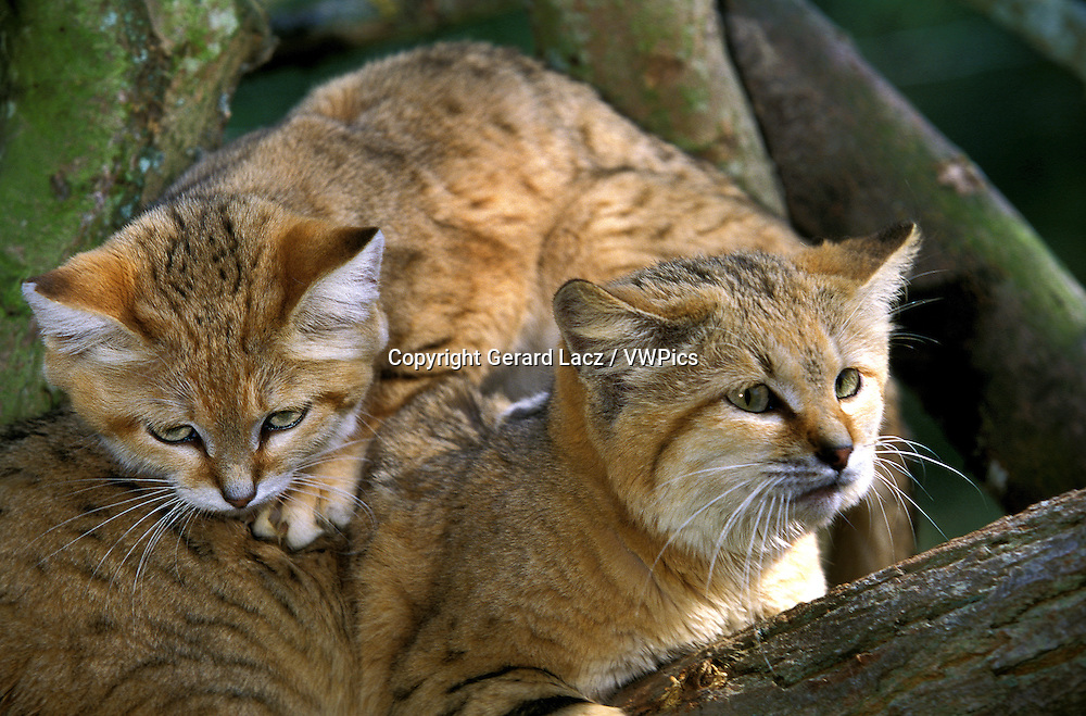 Sand Cat, felis margarita, Female with Young