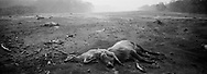 This June 6, 2018 photo shows cattle carcasses on a barren landscape devastated by a deadly June 3rd Volcano of Fire eruption, in San Miguel Los Lotes, Guatemala. Before the June 3rd eruption the the area was a verdant collection of canyons, hillsides and farms.