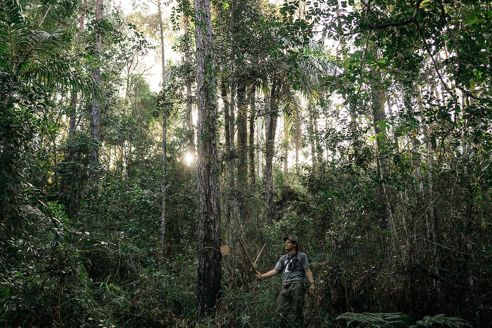 Ornithologists Martjan Lammertink uses a double knocker attached to a pine tree to call for the ivory-billed woodpecker on the Northern edge of Humbolt National Park in Eastern Cuba, on Jan. 27, 2016.
