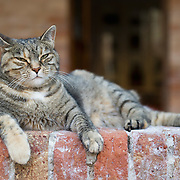 VENICE, ITALY - AUGUST 27:  A stray cat rests on a wall of an old cloister on August 27, 2011 in Venice, Italy. Dingo is the Anglo-Venetian association part of the AISPA,  founded in 1965 by Helen Saunders and Elena Scapabolla and is devoted to the welfare of venetian stray cats. Cats in Venice