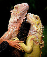 Albino Iguana iguana - A loving pair from Tom Crutchfield's collection.