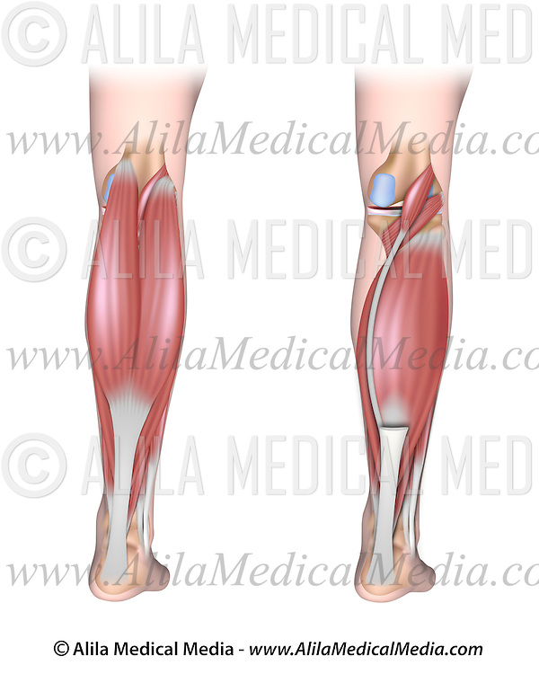 Lower Leg Muscles Posterior Unlabeled Alila Medical Images