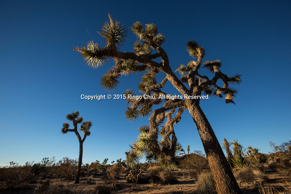 Joshua trees are seen at Joshua Tree National Park in Twentynine Palms, California, January 25, 2015. (Photo by Ringo Chiu/PHOTOFORMULA.com)