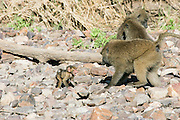 Africa, Tanzania, Serengeti National Park Olive Baboon (Papio anubis), also called the Anubis Baboon Mother interacting with young.