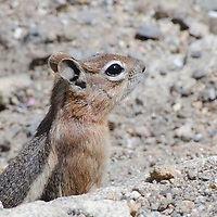 A Golden Manteled Ground Squirrel in Rocky Mountain National Park.  Larger than a Chipmunk, and distinguished by a lack of stripes on the head.