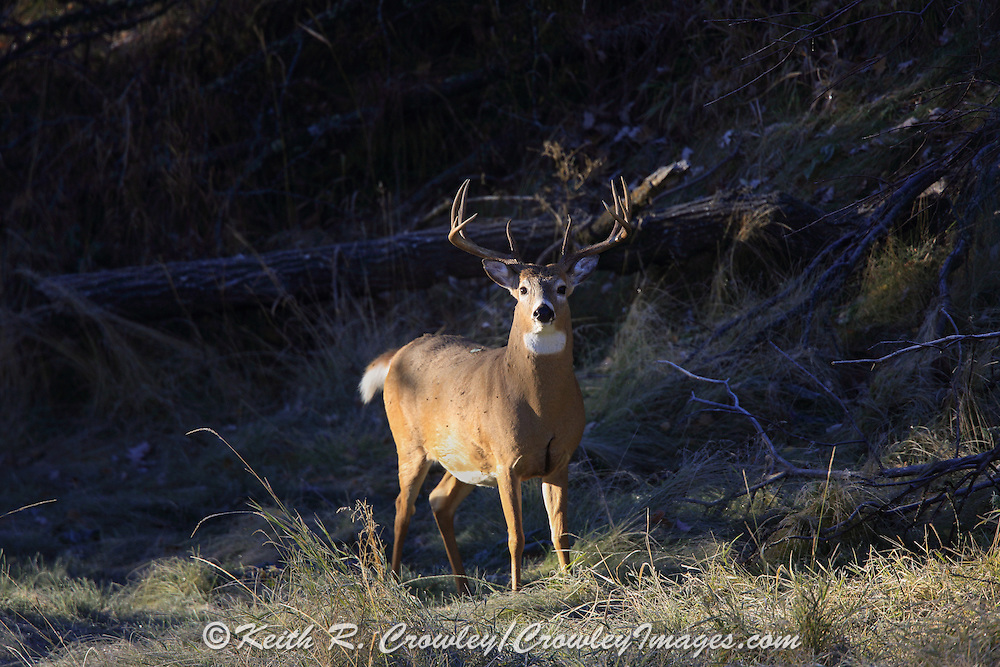 Whitetail buck in fall habitat near the base of Devils Tower in Wyoming.