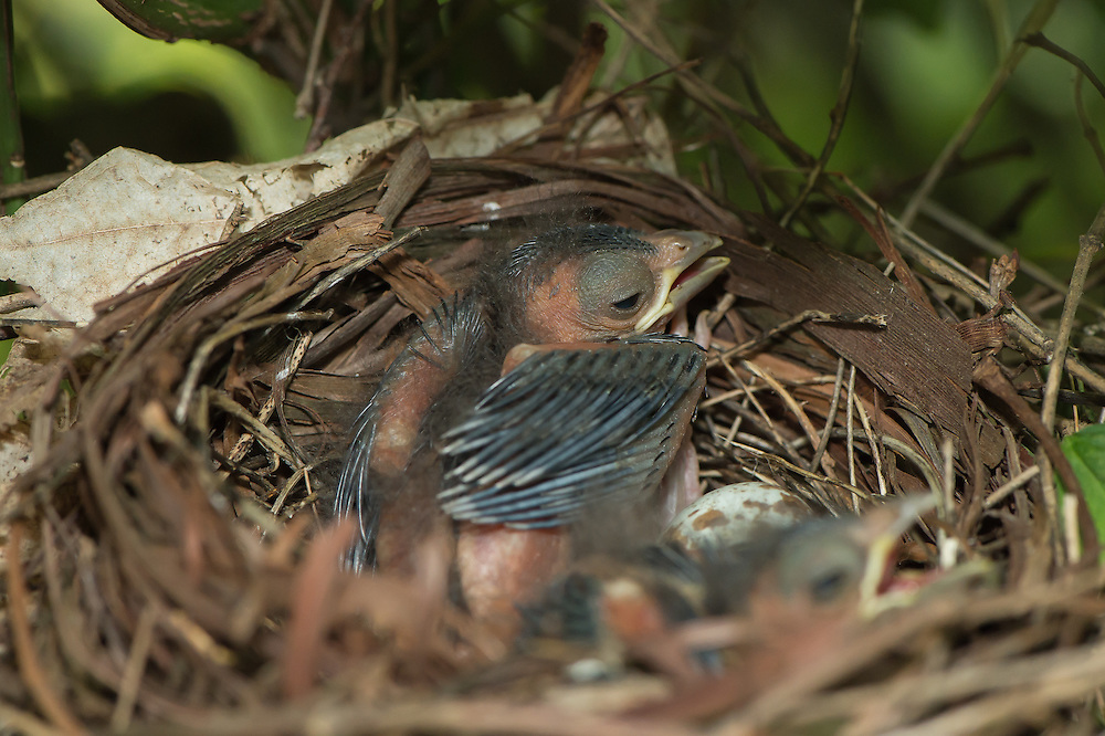 The cardinal chick is rapidly transforming into a cardinal