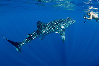 Diver films &quot;small&quot; Whale Shark<br /> <br /> Shot in Indonesia