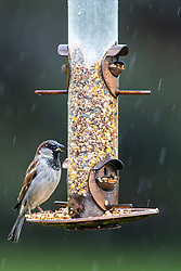 House Sparrow (Passer domesticus) at bird feeder during a rain shower in the spring