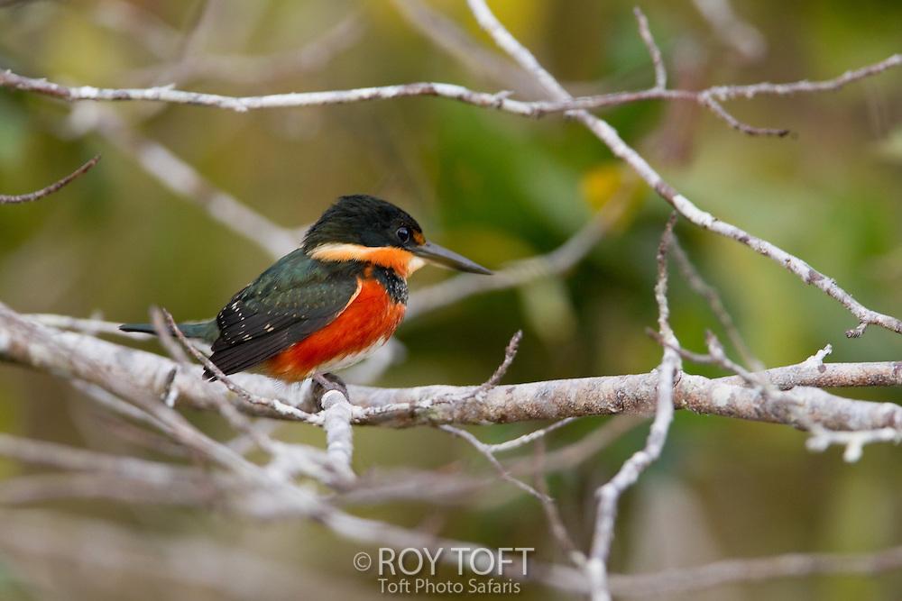 American Pygmy Kingfisher (Chloroceryle aenea), Pantanal, Brazil