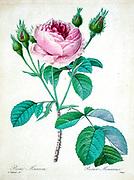 19th-century hand painted Engraving illustration of a pink rose bush, by Pierre-Joseph Redoute. Published in Choix Des Plus Belles Fleurs, Paris (1827). by Redouté, Pierre Joseph, 1759-1840.; Chapuis, Jean Baptiste.; Ernest Panckoucke.; Langois, Dr.; Bessin, R.; Victor, fl. ca. 1820-1850.