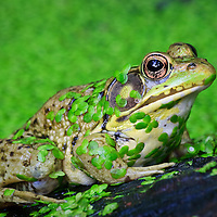 A close-up of a green frog (Rana clamitans) covered in common duckweed (Lemna minor) at the edge of a small pond, Huntley Meadows Park, Alexandria, Virginia.