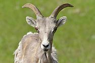 Bighorn Sheep - Ovis canadensis