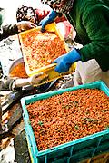 Harvesting Sea Buckthorn berries.