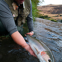 &copy;Ryan Brennecke / 2014<br /> **Edited File<br /> An angler releases a steelhead near the mouth of the Deschutes River.