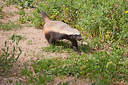 Honey badger (Mellivora capensis), The honey badger, also known as the Ratel, is a member of the Mustelidae family. Photographed in Israel in Winter