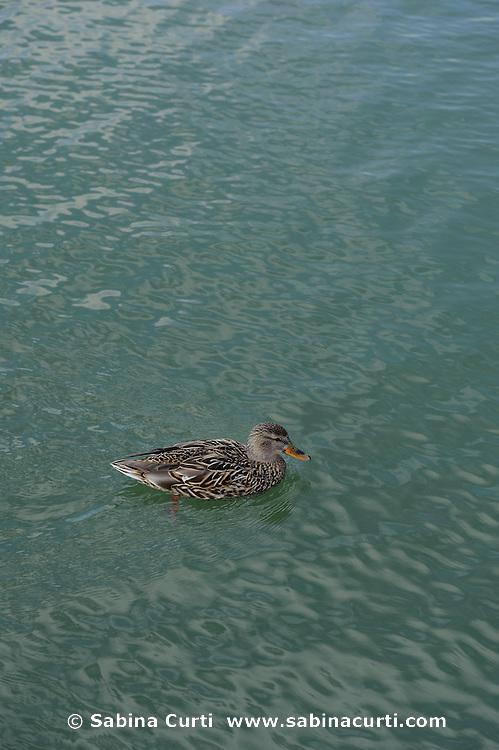 Female Mallard duck, Humber Bay Park