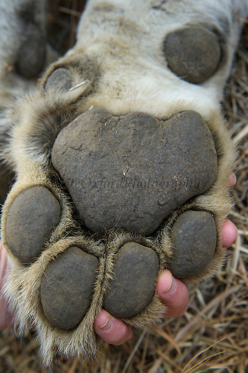 Lioness paw (Panthera leo)<br /> Pilansberg Game Reserve<br /> North West Province<br /> SOUTH AFRICA