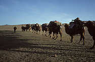 Mongolia. caravan of camels. cattle breeders in the steppe coming from the Gobi desert to oulan bator to sell their sheeps
