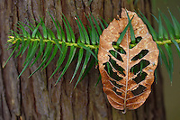 Chinese Fir, Cunninghamia lanceolata, with a dry leaf landed on its branch, Tangjiahe National Nature Reserve, NNR, Qingchuan County, Sichuan province, China