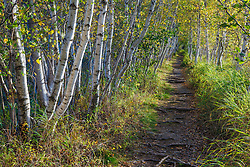 Paper birch trees on the Jessup Path near Sieur de Monts Spring in Maine's Acadia National Park.