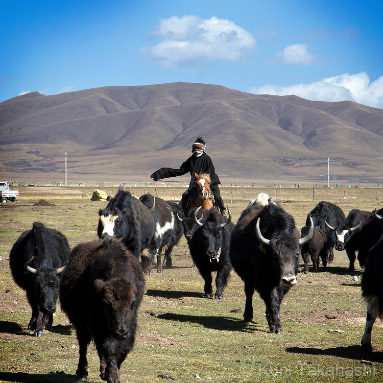 Tibetan man herds yak in Gansu Province, Tibetan part of China on Oct 13, 2015<br /> (Photo by Kuni Takahashi)