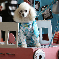 Bennie Bear, 2, dressed as Elvis Saturday during the Elvisfest Pet Parade held by Dilworth Small Animal Hospital