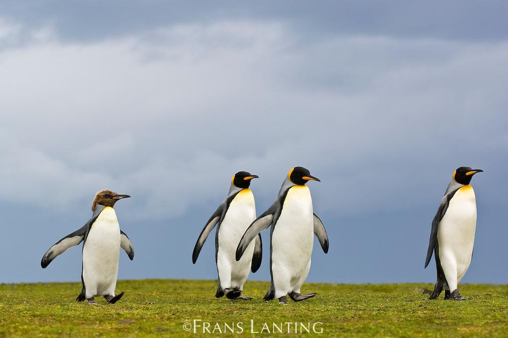 King penguins, Aptenodytes patagonicus, Falkland Islands