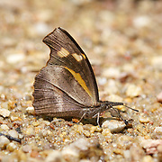 The Club Beak (Libythea myrrha) is a butterfly found in Asia that belongs to the Libytheinae group of the Brush-footed butterflies family. Chaloem Phrakiat Thai Prachan National Park, Thailand.