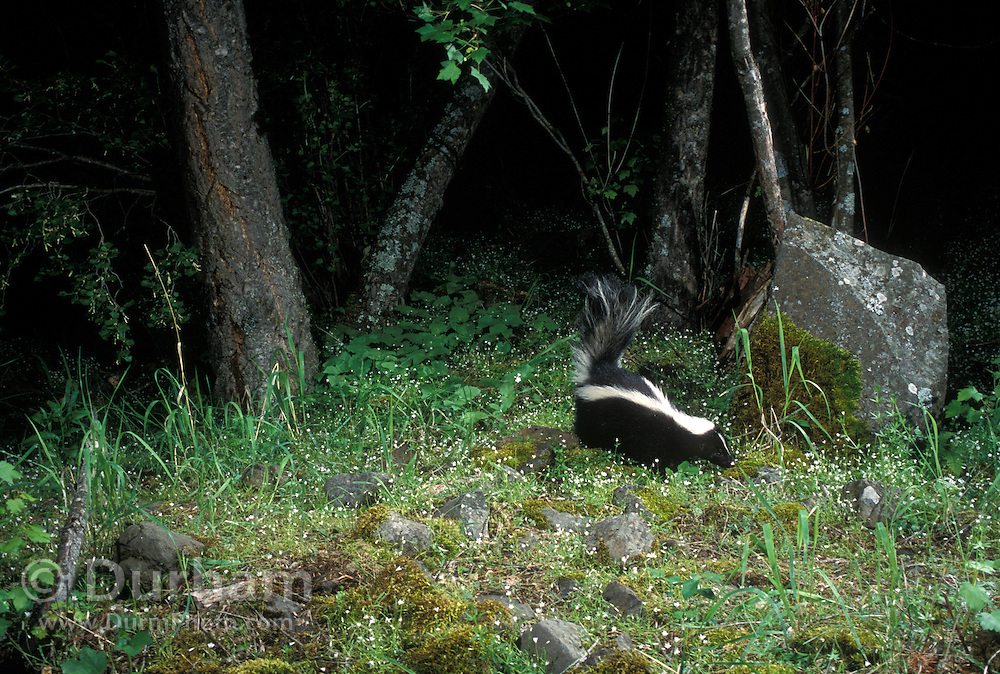 A wild striped skunk (Mephitis mephitis) photographed at night on The Nature Conservancy's Zumwalt Prairie Preserve in Eastern Oregon.