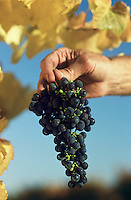 Man holding bunch of black grapes Yarra Valley Victoria Australia