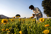 An agricultural worker harvests marigolds in Kanadia, India.