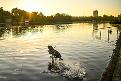 © Licensed to London News Pictures. 26/06/2018. London, UK. A dog jumps in to the serpentine lake in Hyde Park, London at sunrise on a hot summers morning. Temperatures in the south east reached 30 degrees celsius yesterday on the hottest day of the year so far.. Photo credit: Ben Cawthra/LNP