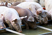 Gloucester Old Spot pigs drink from a trough, Gloucestershire, United Kingdom