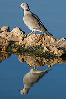 Cape Turtle Dove drinking from a waterhole at dawn, Kgalagadi Transfrontier Park, Northern Cape, South Africa